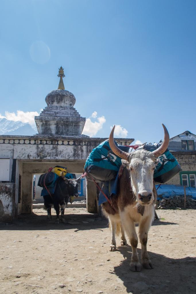 Jopyko in Lulka, Nepal