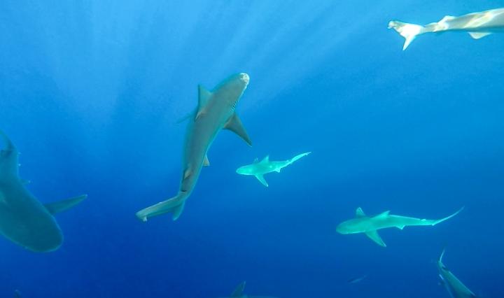 Cageless Shark Diving