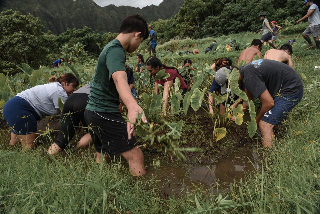 Students working in the taro patches